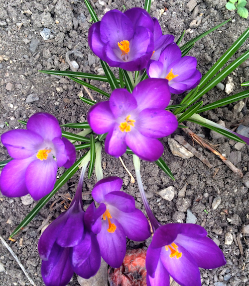 crocus, spring green, flower