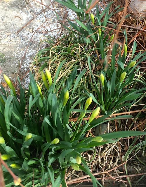 daffodils,spring green
