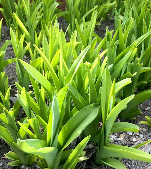 daylily, spring green
